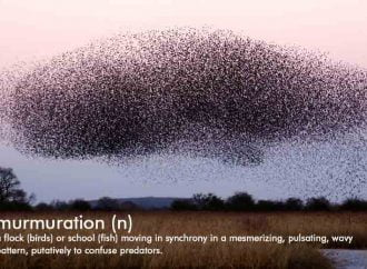 Stephen Spotte's Scientific Word Of The Week: Murmuration
